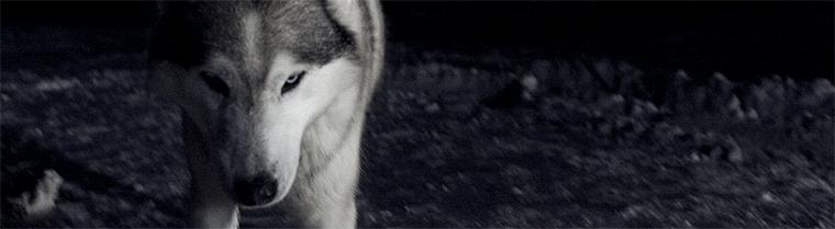 Banderole Loup de Ben Frost de la jaquette By The Throat